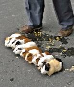 Guinea Pig race