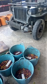 Jeep and coffee cherries