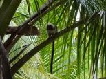 Mono Titi monkey