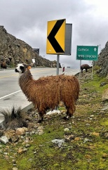 this llama is waiting for his ride back to Cuenca.