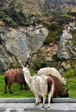 llamas are numerous in the park and roam free everywhere including across the highway.